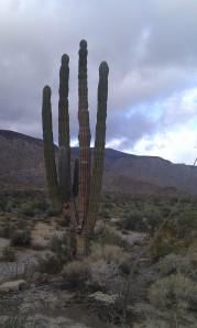 Saguaro (sa-HWAIR-o)