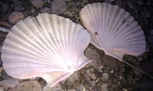 twin shells