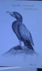 sketch cormorant