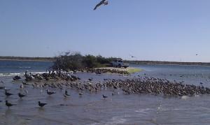 Kazillion  Marbled Godwit birds