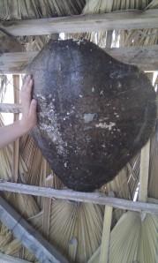 turtle shell w hand comparison
