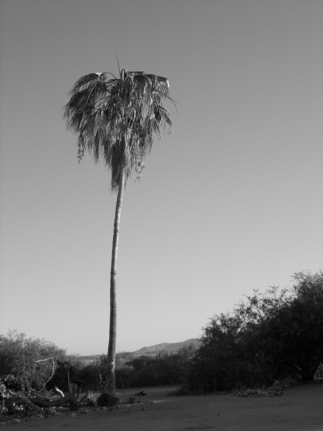The palm tree near our campsite
