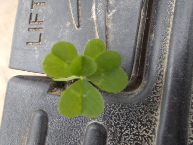 5 Leaf Clover