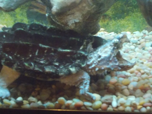 I LOVE turtles, but this Alligator Snapping Turtle is a bit less attractive to me.