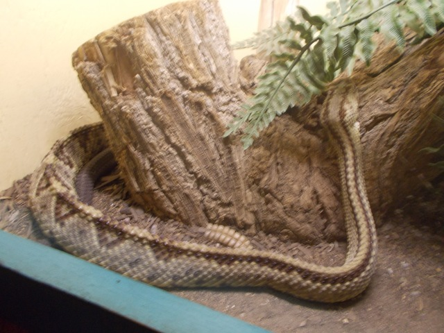 Costa Rican Rattlesnake was Maret's favourite because of the high ridge created by its back bone, very unique from the others