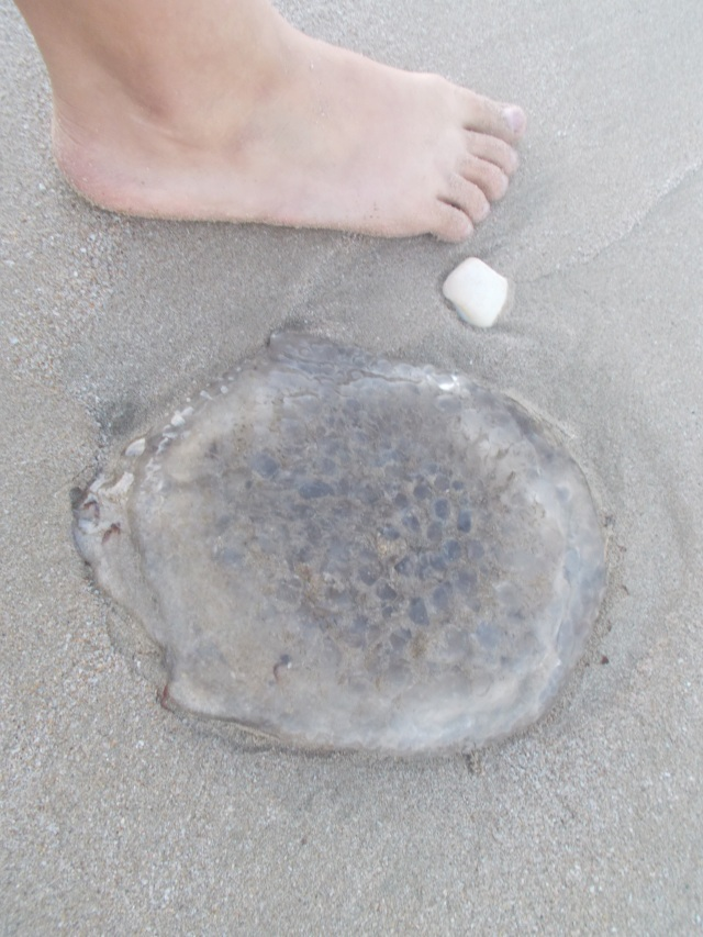 Jellyfish and Tov's foot for size comparison