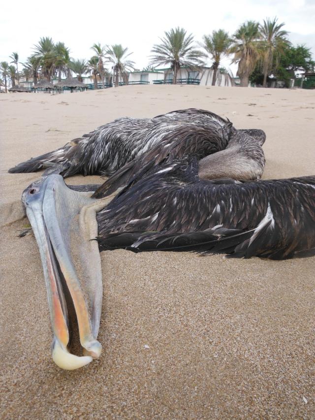 dead pelican
