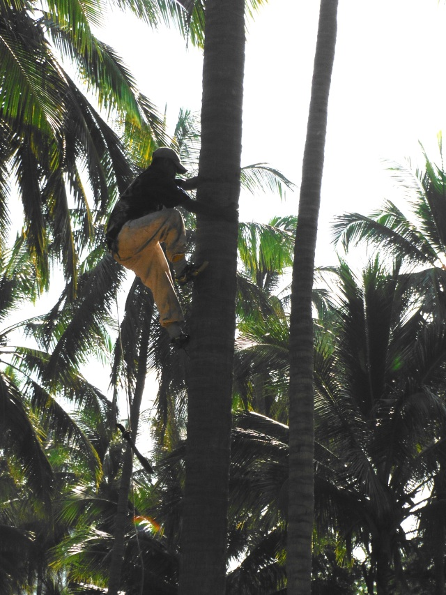 Special spikes strapped on to their shoes makes funny-walk on the ground but the men climb trunks like monkeys.