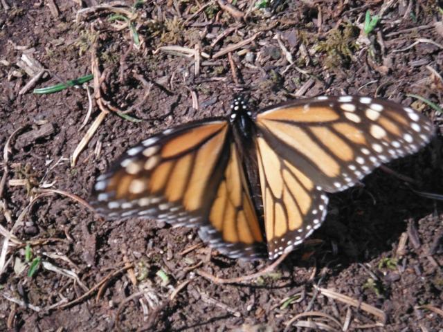 mariposa on ground