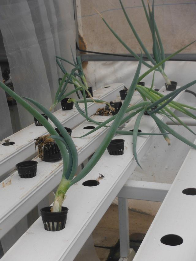 Green onions & seedlings
