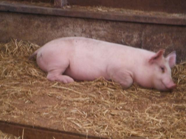 A real farm has stinky pigs.